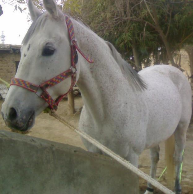 Hirzai Horse
