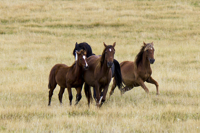 Kaimanawa horse. Image by Propganda