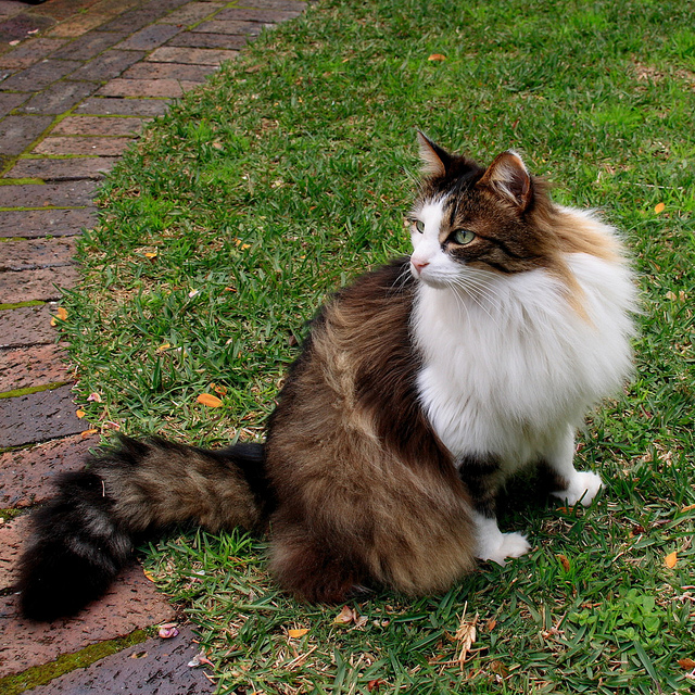 Norwegian Forest cat. Image by Kyknoord