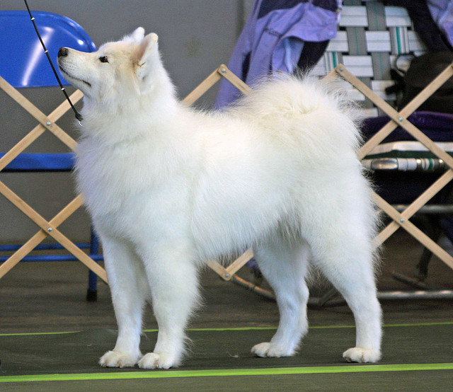 Samoyed (dog). Image by Tundra Ice