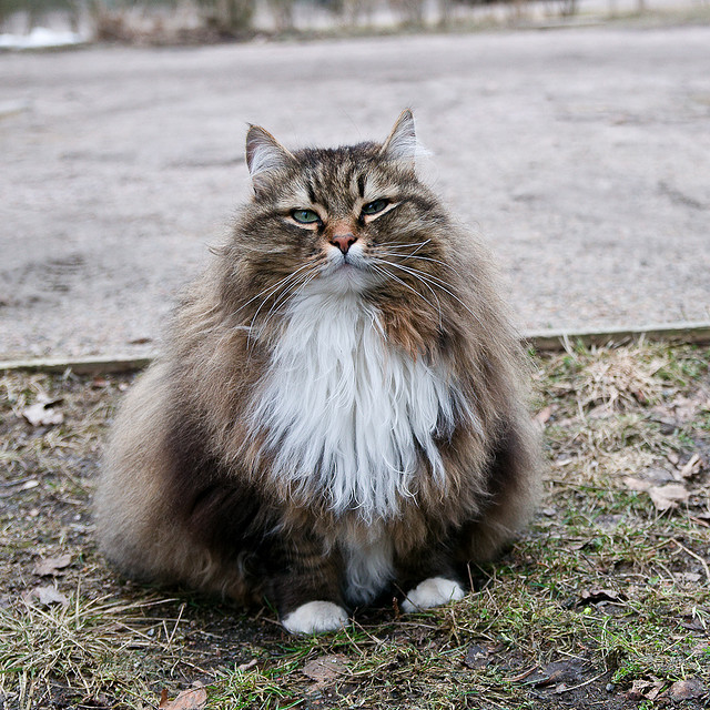 Siberian cat. Image by vipa