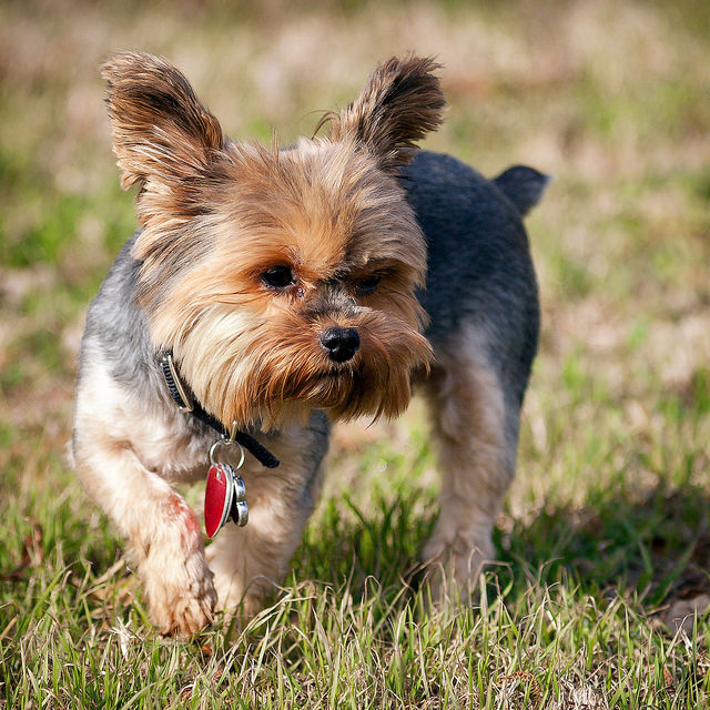 Yorkshire Terrier. Image by hz536nGeorge Thomas